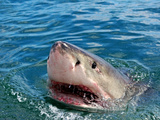 Close Up of a Great White Shark (Carcharodon Carcharias)  Capetown  False Bay  South Africa
