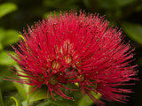 Pohutukawa Flower  Dunedin  South Island  New Zealand