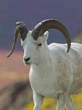 Bighorn Sheep  Alaska  USA