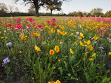 Wildflowers  Texas  USA