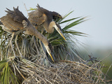 Great Blue Heron Chicks in Nest Looking for Bugs  Ardea Herodias  Viera Wetlands  Florida  USA