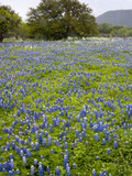Bluebonnets and Oak Tree  Hill Country  Texas  USA