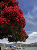 Pohutukawa Tree and Akaroa Harbour  Akaroa  Banks Peninsula  Canterbury  South Island  New Zealand