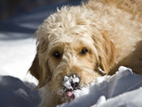 A Goldendoodle with Snow on it's Nose  New Mexico  USA