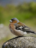 Male Chaffinch  Armadale  Isle of Skye  Inner Hebrides  Scotland