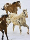 Horse Running  Shell  Wyoming  USA