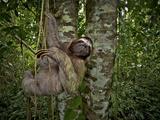 Three-Toed Sloth (Bradypus Variegatus) Perezoso De Tres Dedos  Cahuita  Caribe  Costa Rica