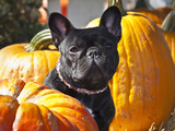 A French Bulldog Sitting Between a Row of Pumpkins