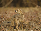 Jackal with Pups  Madhya Pradesh  Pench National Park  India