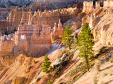 Trees Grow in Limestone at Bryce Canyon National Park  Utah  USA