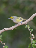 White-Eyed Vireo  Texas  USA