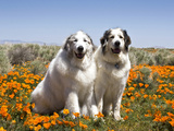 Two Great Pyrenees Together in Field of Wild Poppy Flowers  Antelope Valley  California  USA