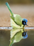 Green Jay  Texas  USA
