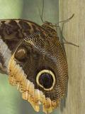 Owl-Eye Butterfly (Caligo)  Green Hills Butterfly Farm  Belize
