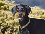 A Doberman Pinscher Standing in Front of Yellow Flowers  California  USA