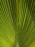 Palm Frond  Nadi  Viti Levu  Fiji  South Pacific