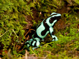 Auratus Dart Frog Dendrobates Auratus Native to Northern South America