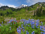 Wildflowers on Meadows  Mount Rainier National Park  Washington  USA