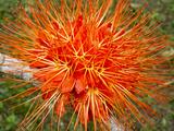 Flame of Panama Flower (Brownea Macrophylla)  Belize Botanic Gardens