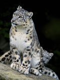 Snow Leopard  Uncia Uncia  Panthera Uncia  Nepal