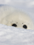 Harp Seal Pup  Close Up  Iles De La Madeleine  Quebec  Canada