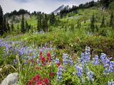Wildflowers on Meadows  Mount Rainier National Park  Washington  USA