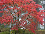 A Maple Tree at the Portland Japanese Garden  Oregon  USA