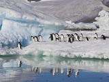 Adelie Penguins  Devil Island  Antartica  Antarctic