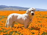 Labrador Retriever Standing in a Field of Poppies in Antelope Valley  California  USA