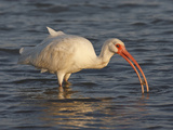 White Ibis  Texas  USA