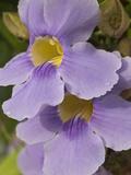 Flower Bloom  Pedasi  Panama