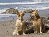 Two Golden Retrievers Sitting Together on a Beach in California  USA