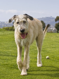 An Irish Wolfhound Puppy Walking Away from His Ball  California  USA