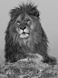 African Lion  Bozeman  Montana  USA