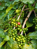 Greenwell Kona Coffee Farm  Big Island  Hawaii  USA