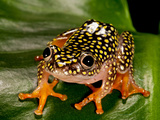 Starry Night Reed Frog  Heterixalus Alboguttatus  Native to Madagascar