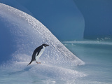 Adelie Penguin  Devil Island  Antartica  Antarctic
