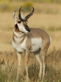 Pronghorn  Yellowstone National Park  Montana  USA