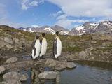 Penguins  Nigu River  Alaska  USA
