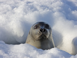 Mother Harp Seal Raising Head Out of Hole in Ice  Iles De La Madeleine  Quebec  Canada