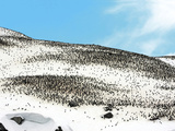Thousands of Gentoo Penguins and Chicks (Pygoscelis Papua) at Rookery in Gibbs  Antarctica