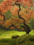 Japanese Maple at the Portland Japanese Garden  Oregon  USA