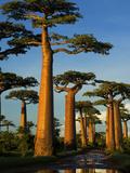 Baobab (Adansonia Grandidieri)  Near Morondava  Madagascar