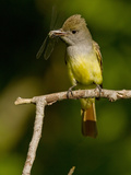 Great Crested Flycatcher  Pennsylvania  USA
