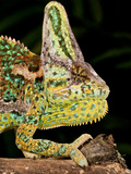 Veiled Chameleon  Chamaeleo Calyptratus  Native to Yemen