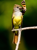 Great Crested Flycatcher Myiarchus Crinitus Central Pennsylvania
