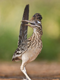 Greater Roadrunner  Texas  USA