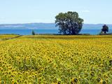 Field of Sunflowers  Lake of Bolsena  Bolsena  Viterbo Province  Latium  Italy