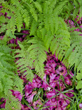 Forest Ferns  Armadale Castle and Gardens  Armadale  Isle of Skye  Inner Hebrides  Scotland