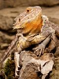 Bearded Dragon  Pogona Vitticeps  Native to Australia